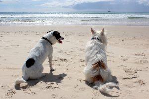 Deux chiens assis sur une plage qui regardent la mer